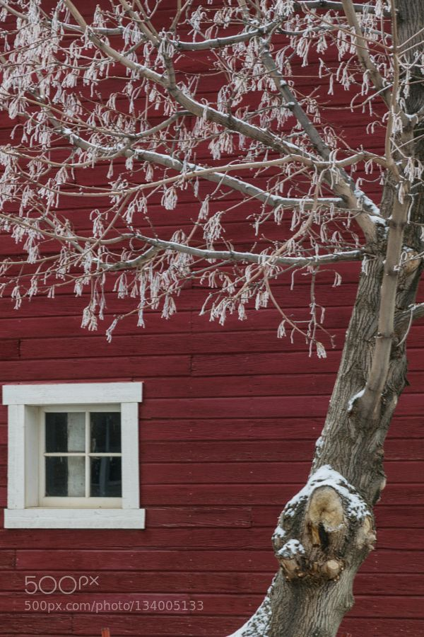 Frosted Tree and old red barn - Pinned by Mak Khalaf Frosted tree after early winter snow in front of an old red barn in NE Oregon. Fine Art snowFarmMilton-FreewaterOld FarmhouseOld HomesteadOld buildingsarchitecturebarncolddeciduous treefrostfrostedfrosted treeiceold barnredred barnseasonssnowfalltreetreeswhitewinterwinter snowbeautifulprettyred woodtimeless by SteveStory