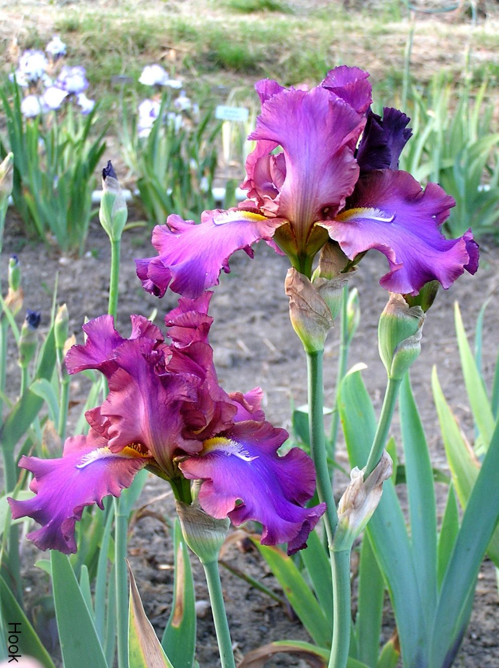 Hook Plant Out Front 8 14 This On Rotted Iris Flowers Iris Farms Iris Garden