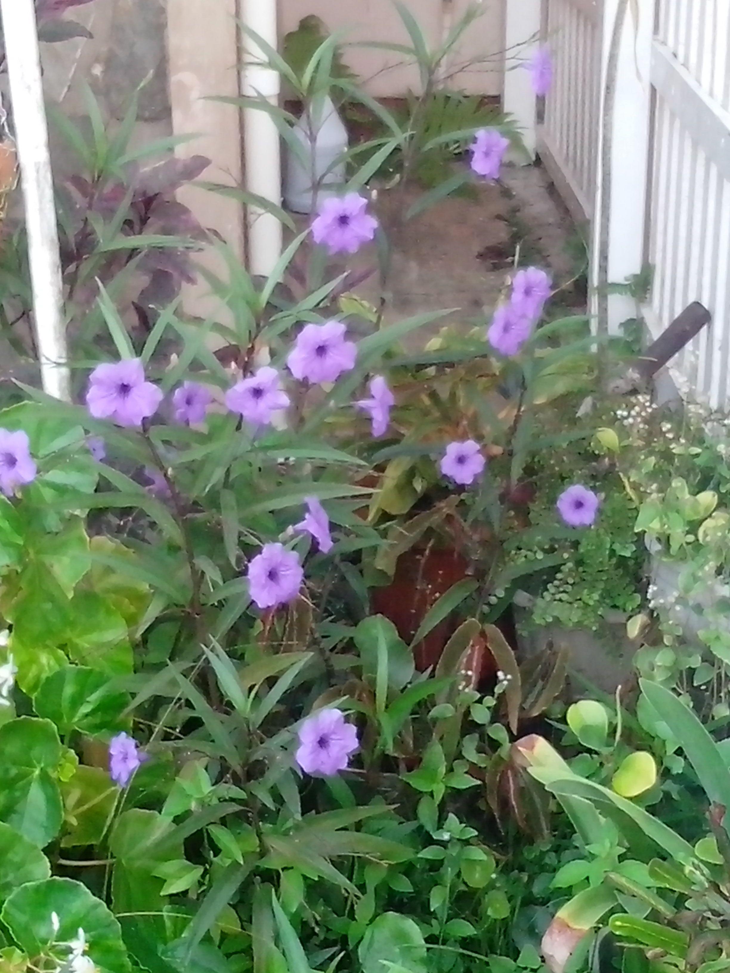 Purple Bell Shaped Flowers My Moms Garden Flowers Of