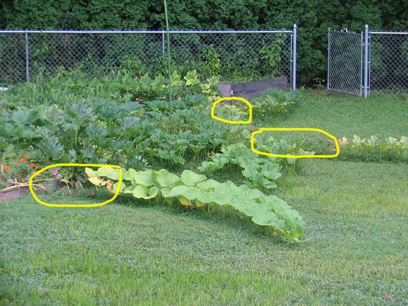 One Reason Not To Trellis Melons And Pumpkins Pumpkin Trellis Pumpkin Garden Cucumber Trellis
