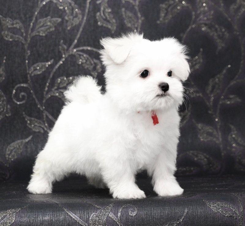 Pin By Mina Artiles On Dog Maltese Cute Animals Cute Teacup