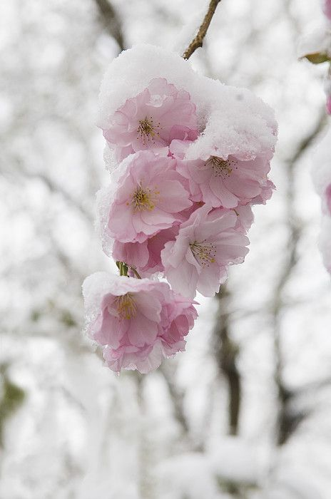Cherry Blossom In Munich Germany Flowers Photography Flowers Beautiful Flowers