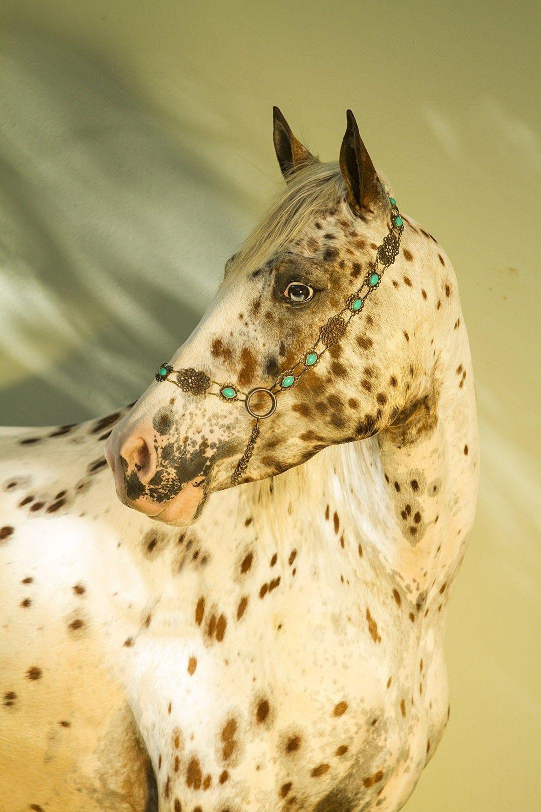 Yazela Tri Colour Chestnut Spotted Leopard Mare Appaloosa Appaloosa Horses Beautiful Horses [ 1620 x 1080 Pixel ]