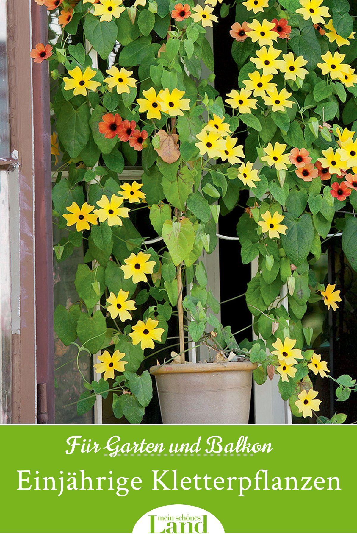 Einjahrige Kletterpflanzen Kletterpflanzen Pflanzen Einjahrige