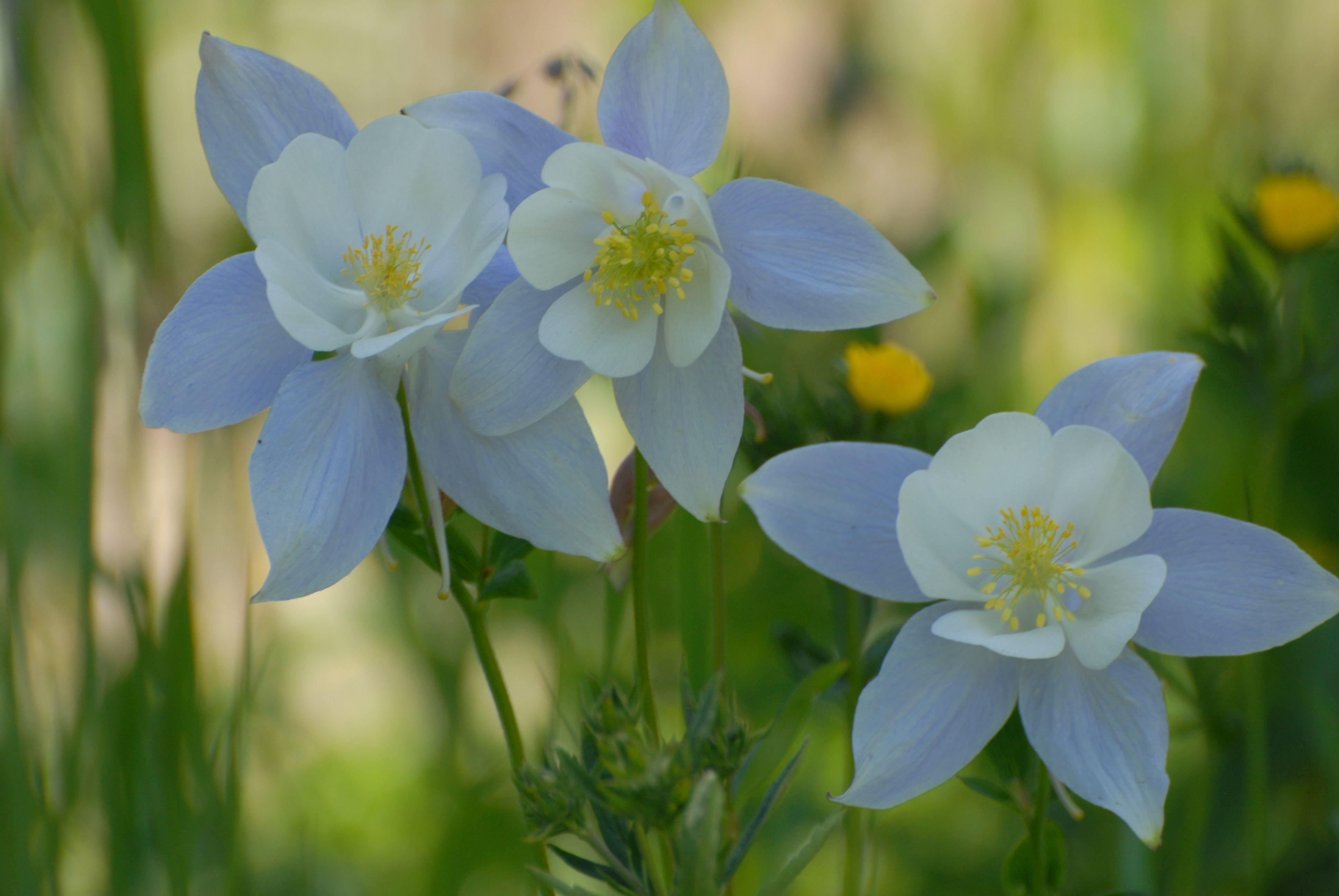 Colorado Columbine Flower Favorites Pinterest