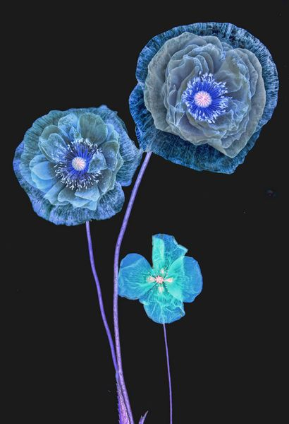Blue Poppies - Photography by Harold Davis