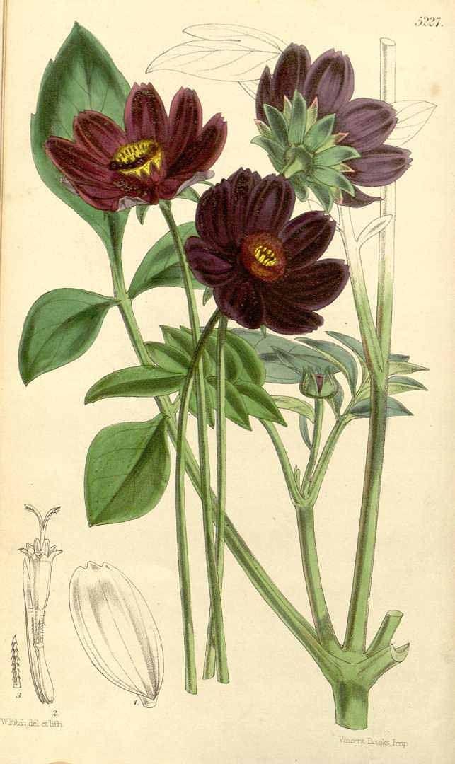 2074 Cosmos Diversifolius Ottovar Atrosanguinens Curtis S Botanical Magazine Vol 87 Ser 3 Vol 1 Botanical Artwork Botanical Flowers Botanical Drawings
