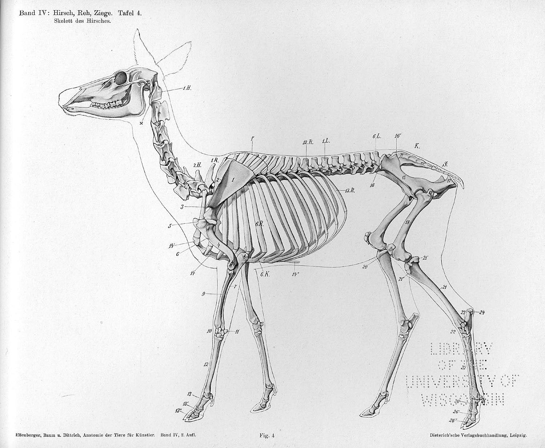 Skelett des Hirsches | Anatomie | Pinterest | Hirsche und Skulptur