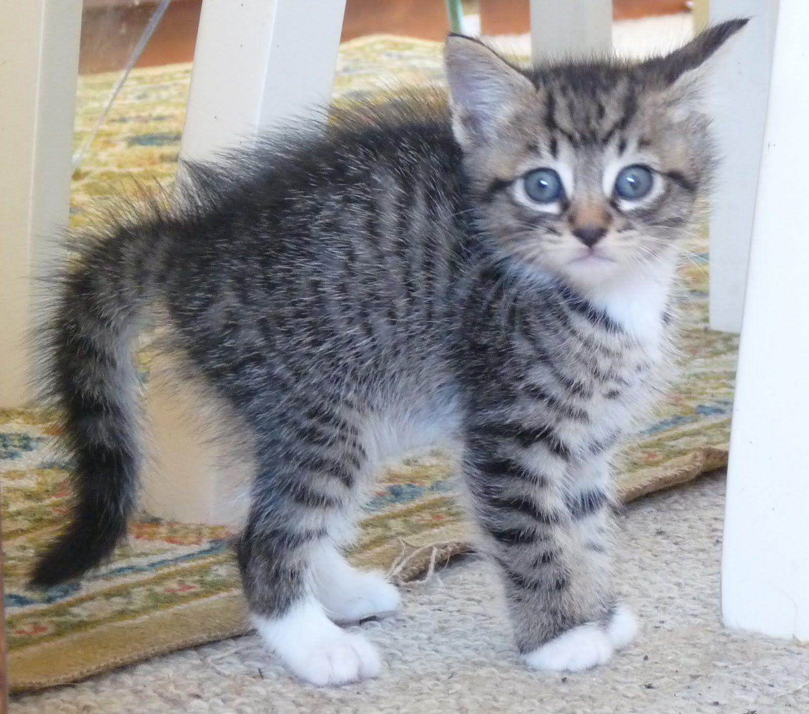 Soo Cute Kittens Cutest Kittens Silver Tabby Kitten
