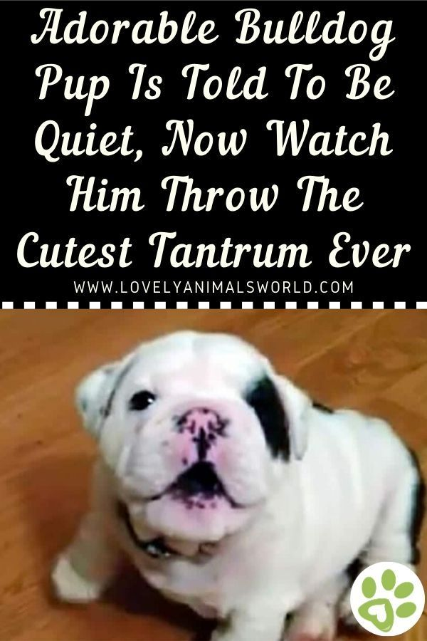Adorable Bulldog Pup Is Told To Be Quiet Now Watch Him Throw The