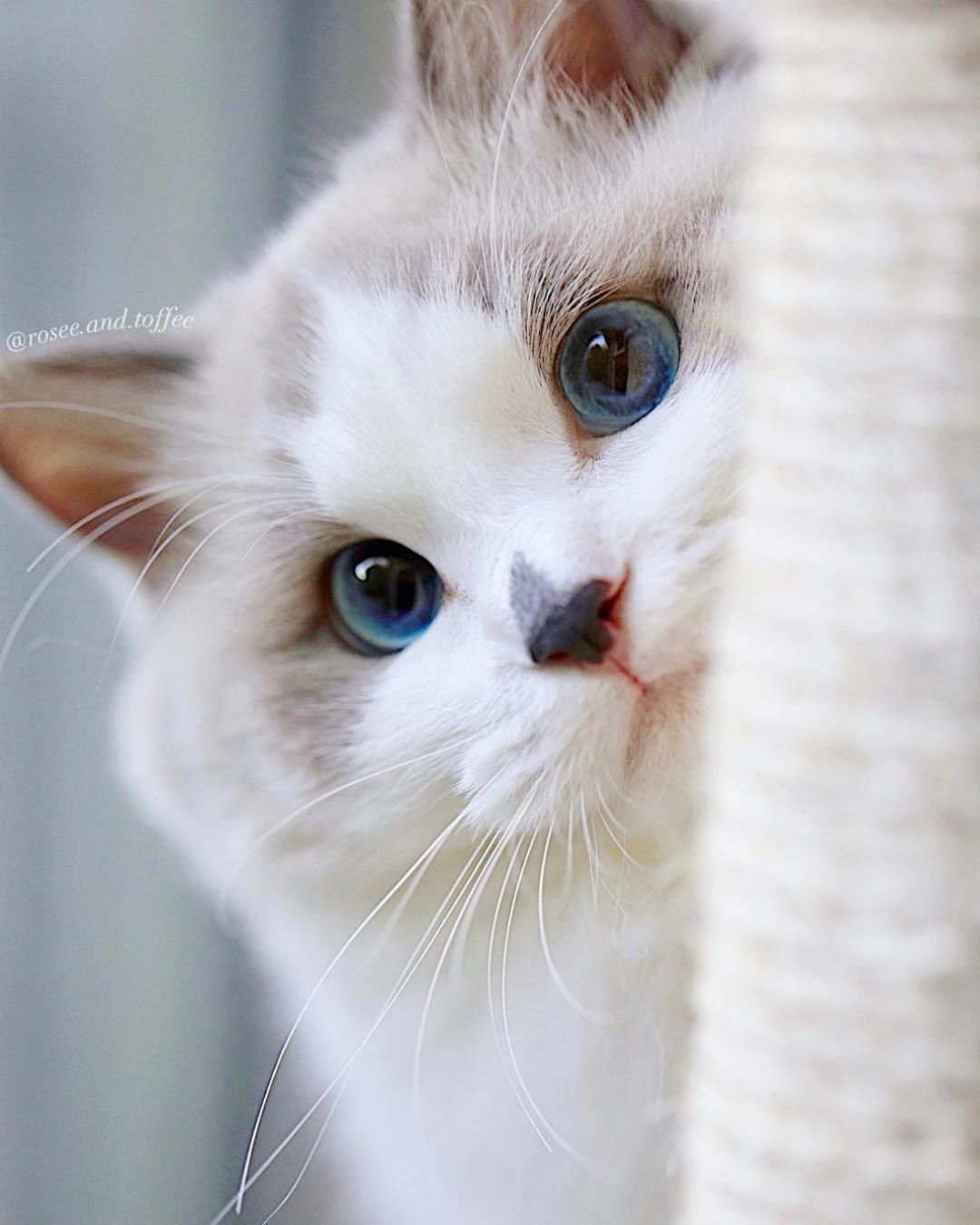 Cat Lover Inc On Instagram Beautiful Rosee Love You I M Like My Cat I Run Around In Circles In My Apartment Cute Cats And Kittens Cats Cat Lovers