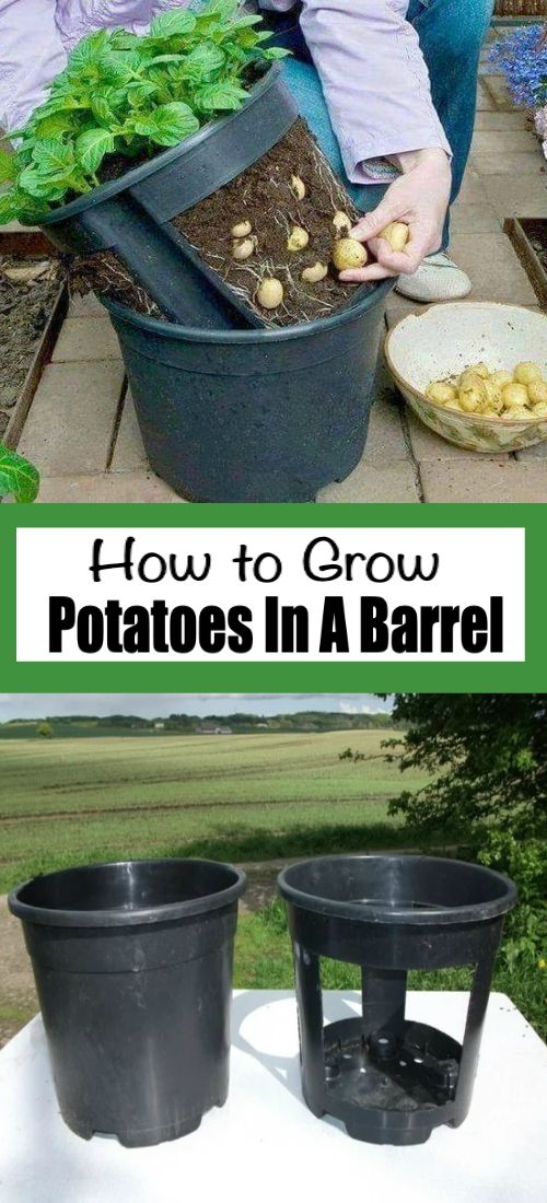 Photo of Grow Potatoes In A Barrel Youtube Video – The WHOot