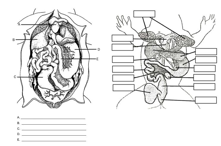 Frog Anatomy Labeling With Images Frog Dissection Apologia