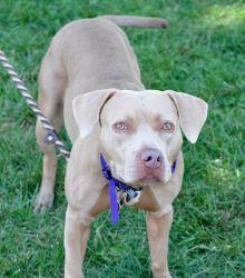 Marirose Is An Adoptable American Bulldog Dog In Philadelphia Pa Beautiful Marirose A16966131 The Absolutely Beautiful American Bulldog Caes Gatos Cao E Gato