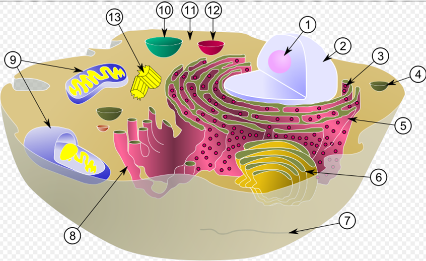 eukaryotic cell organelles with numbers - Buscar con Google ...