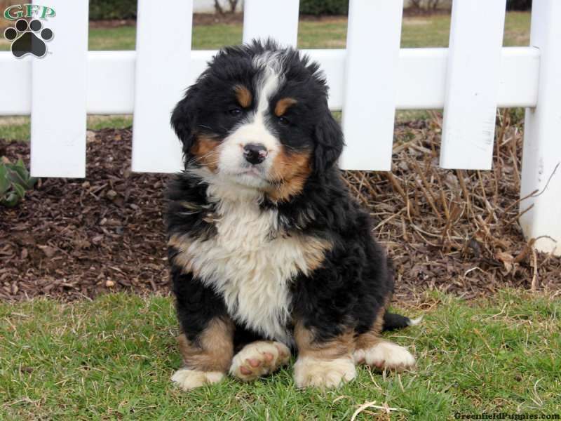 Hank, Bernese Mountain Dog puppy for sale in Lancaster,, Pa