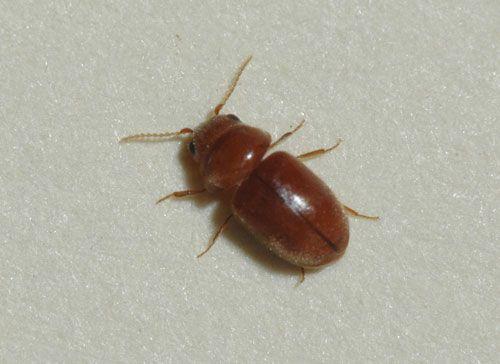 Drugstore beetles and cigarette beetles. Drugstore beetles and cigarette beetles   Pest Control   Pinterest