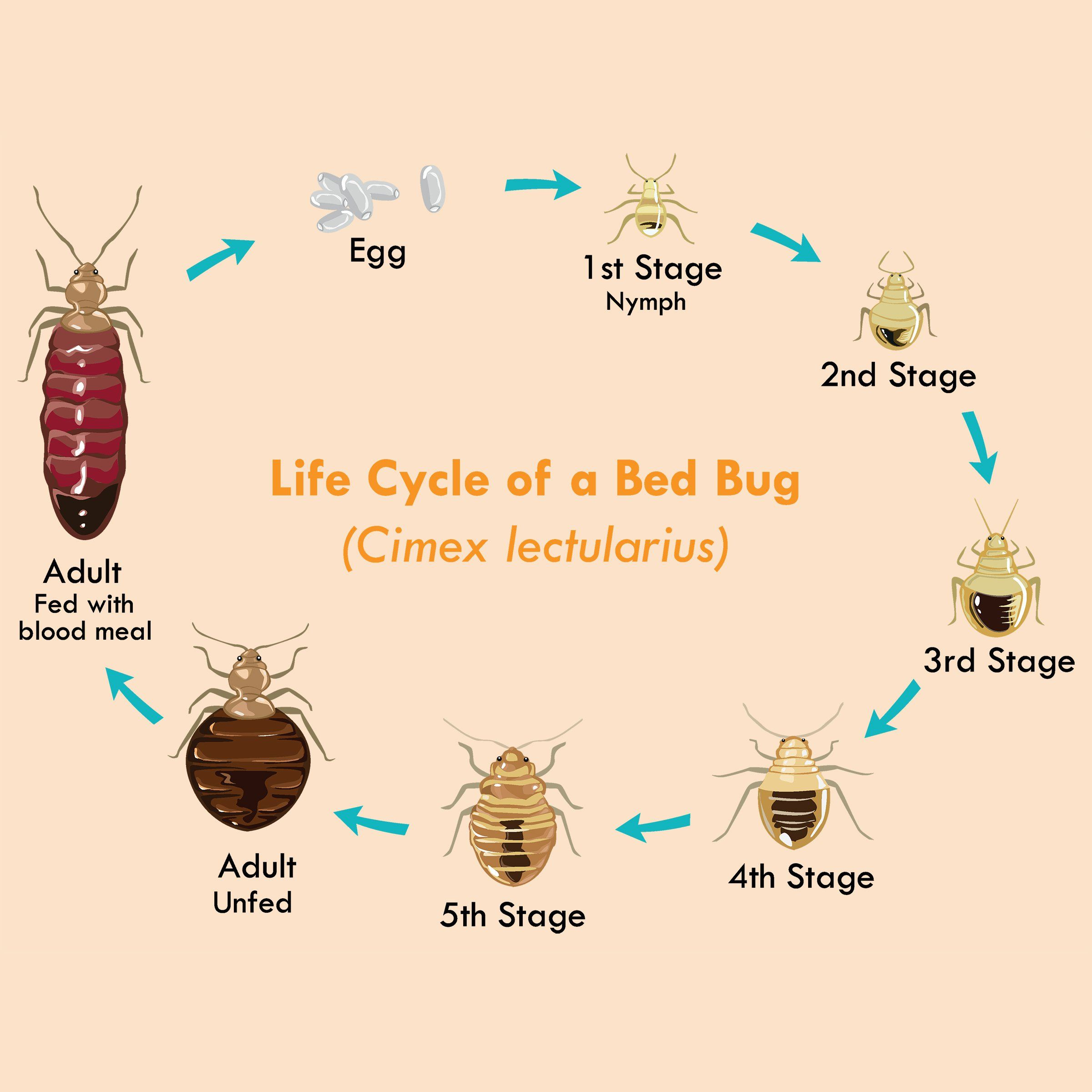 What Is the Life Cycle of a Bed Bug? Bed bugs, Bed bugs