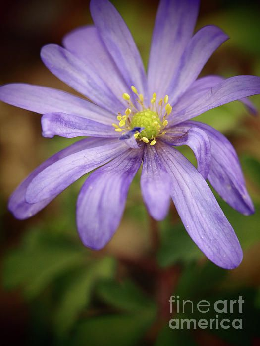 Anemone In The Garden Shadows 2 by Dorothy Lee #floral #flowers #homedecor #photography #nature #naturephotography #florals