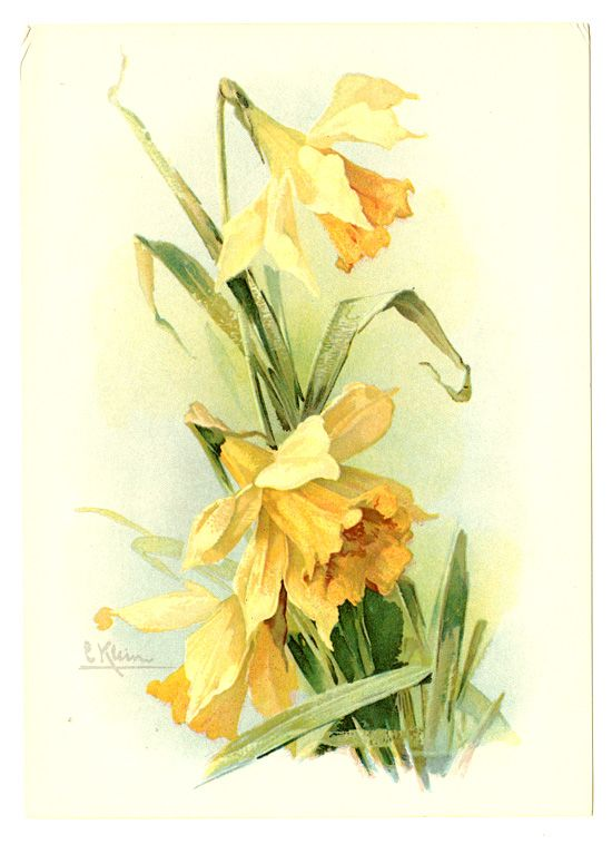 Botanitcal Illustration Yellow Daffodil Catherine Klein