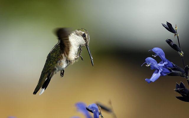Hummingbird Scratching In Flight_RGB4099 by DansPhotoArt, via Flickr