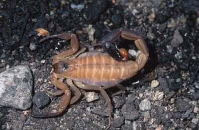 What are some types of organic scorpion control?