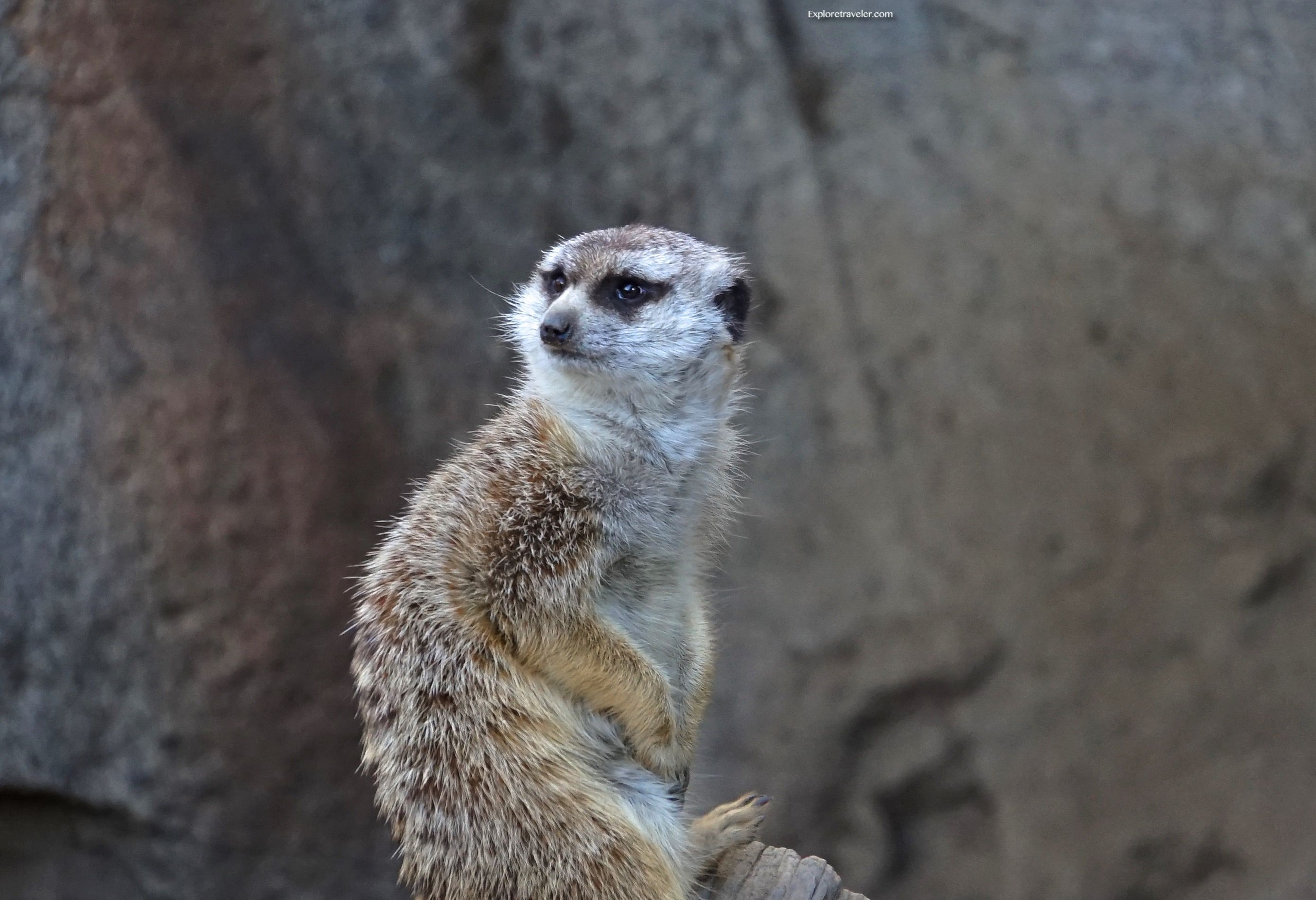 "Meerkat‬ at the ‪‎San Diego‬ Zoo ""Do I look like ‪‎Timon"