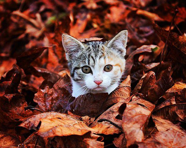 Kitten In The Leaves By Heather Saulsbury Kitten Animals Heathers