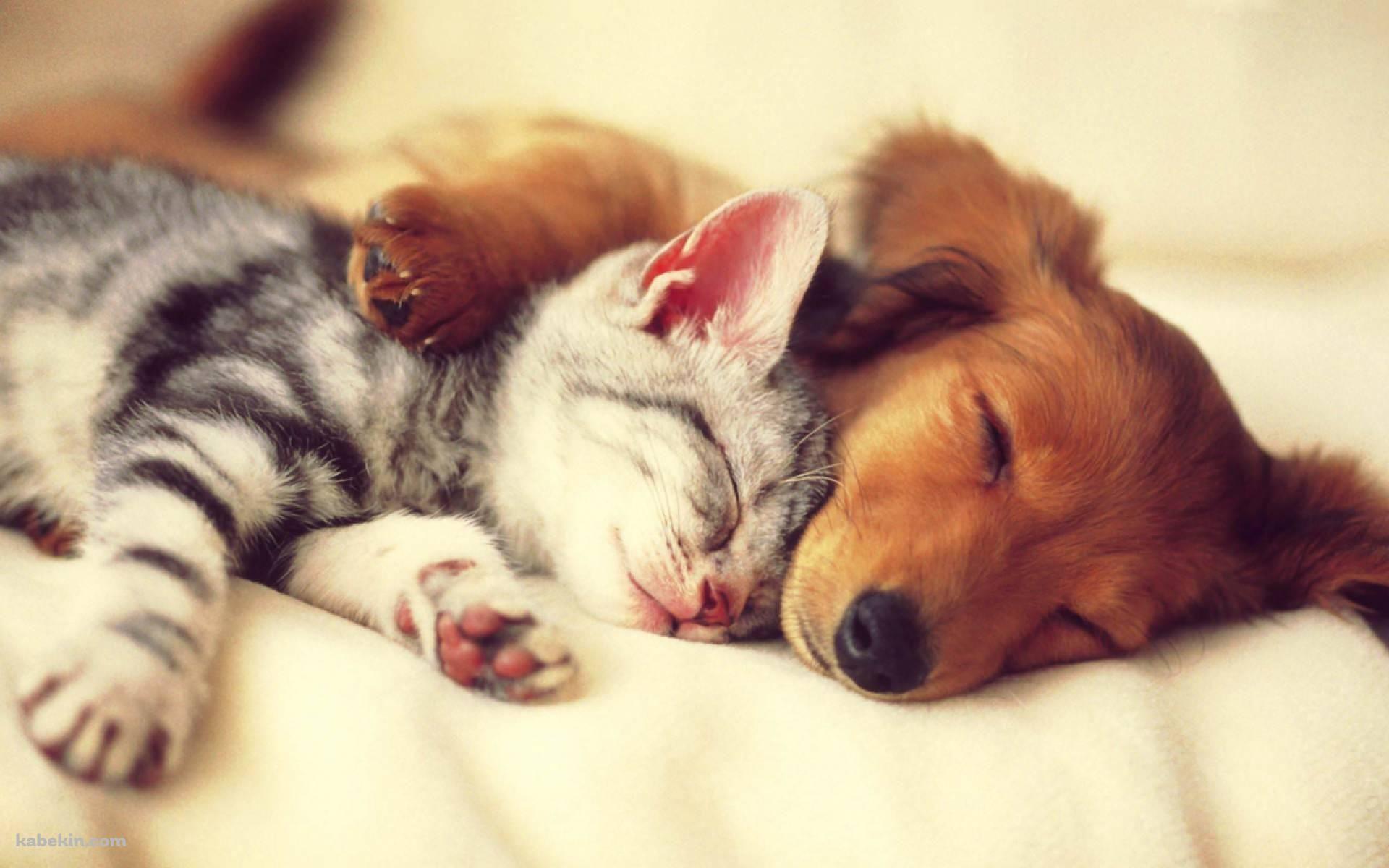 添い寝する猫と犬の壁紙 可愛い 動物 可愛い猫 犬 壁紙