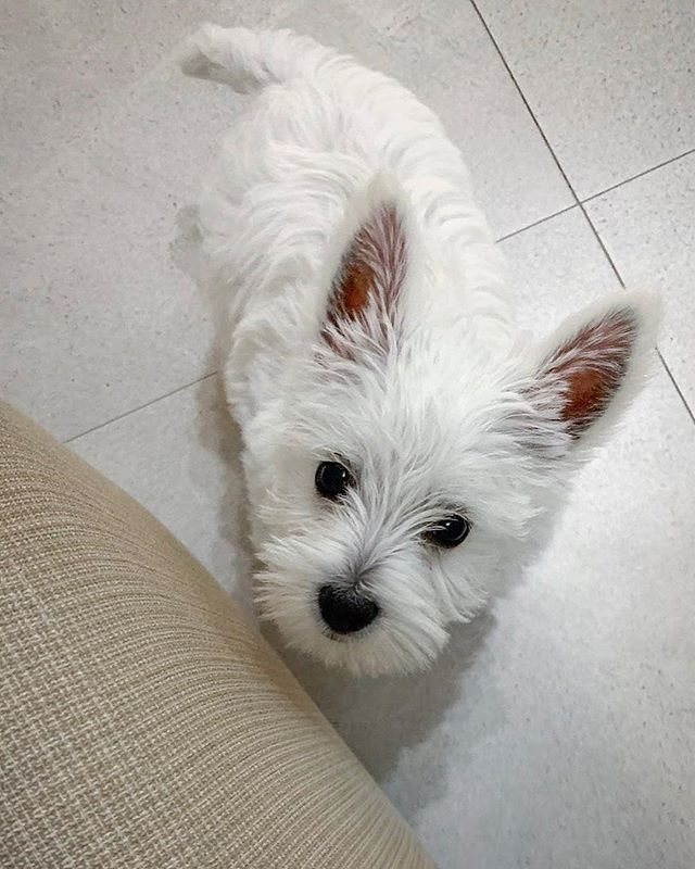 Pin By Paula Rogers On Animals Westie Puppies Westie Dogs Puppies