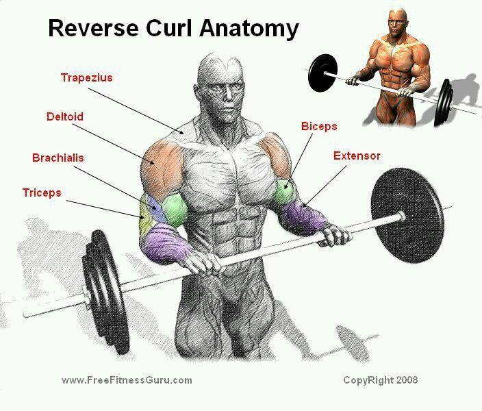 Reverse curl | Workouts anatomy | Biceps workout, Forearm ...