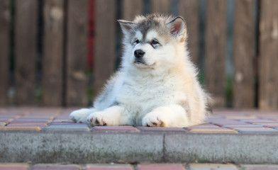 Alaskan Malamute puppy plays in the yard