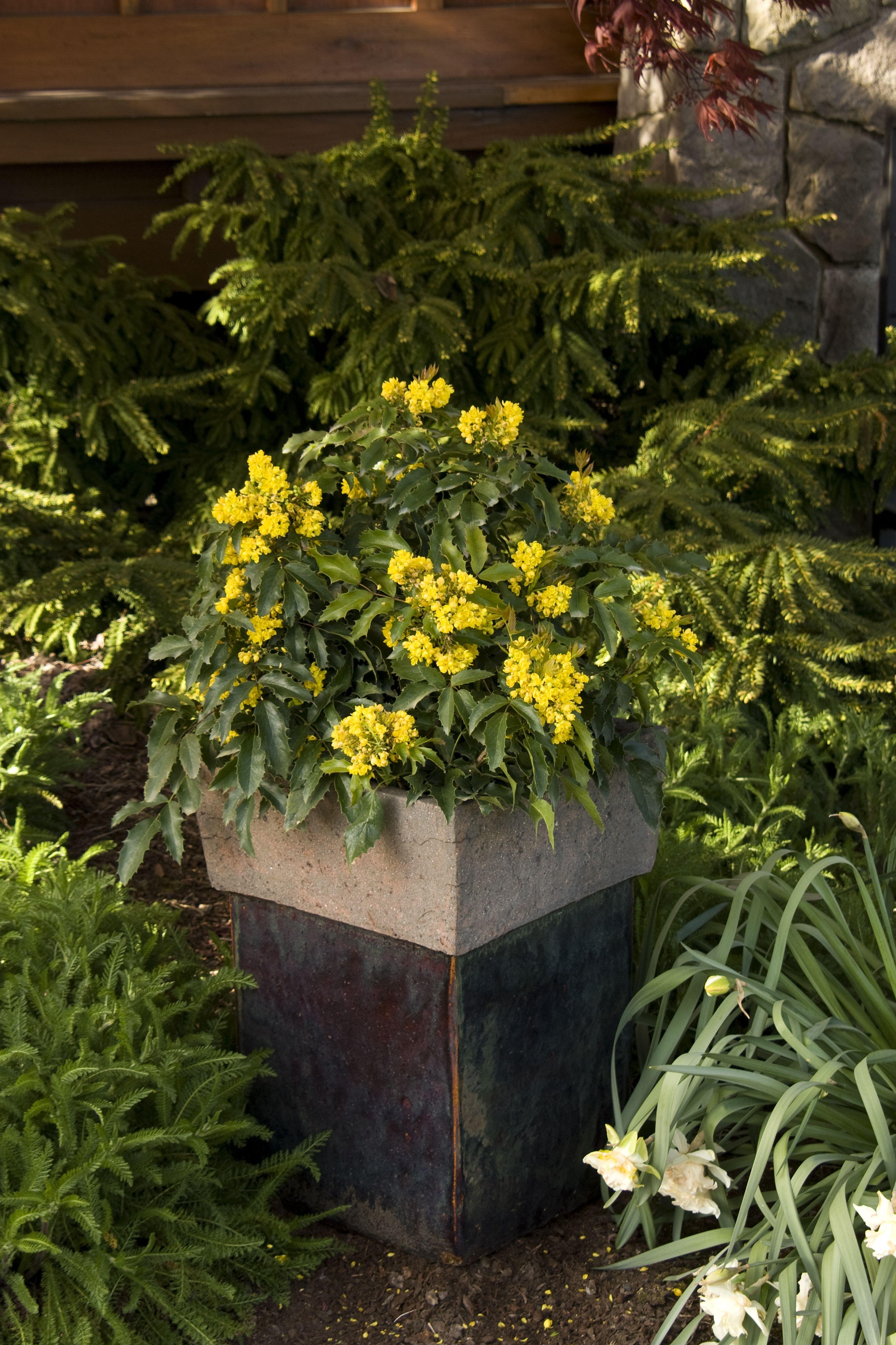 Dwarf Oregon Grape Mahonia Aquifolium Compacta I Zone 5 I 5ft X