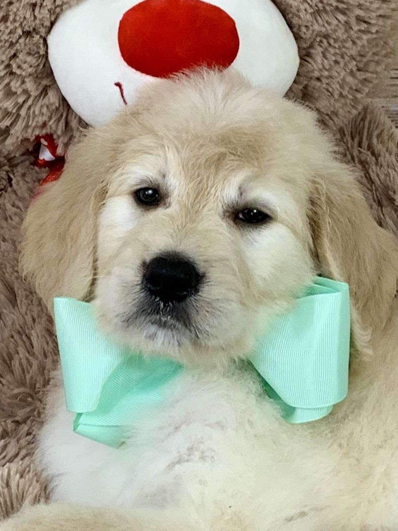 F1 English Cream Teddy Bear Goldendoodle available at