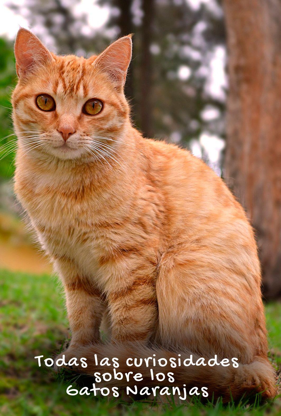 50 Ideas De Gato Naranja Gato Naranja Gatos Gatos Atigrados