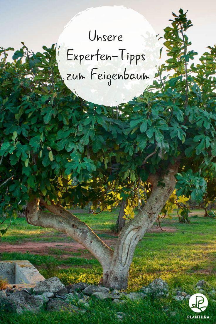 Bis Expertentipps Feigenbaum Kaufen Pflegen Vom Zum Feigenbaum Im Garten Wir Klaren All Eure Fragen Zum Feig Fig Tree Trees To Plant Fig Tree Plant