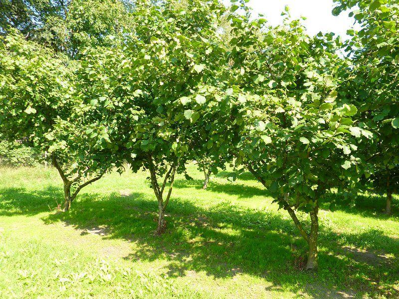 Hazelnut Drought Tolerant Garden
