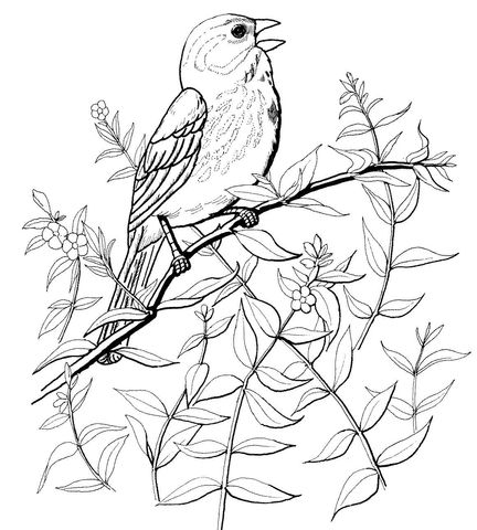 Song Sparrow Coloring Page Bird Coloring Pages Bird Drawings