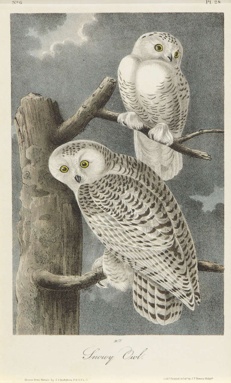 snowy owl from a unique collection of animal prints at http