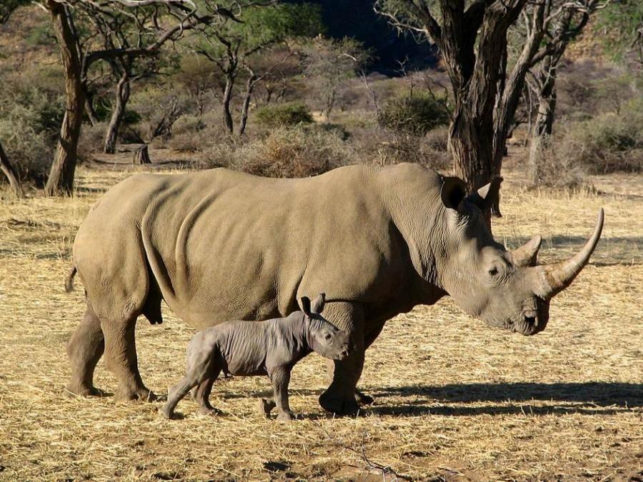Rhinocerus............