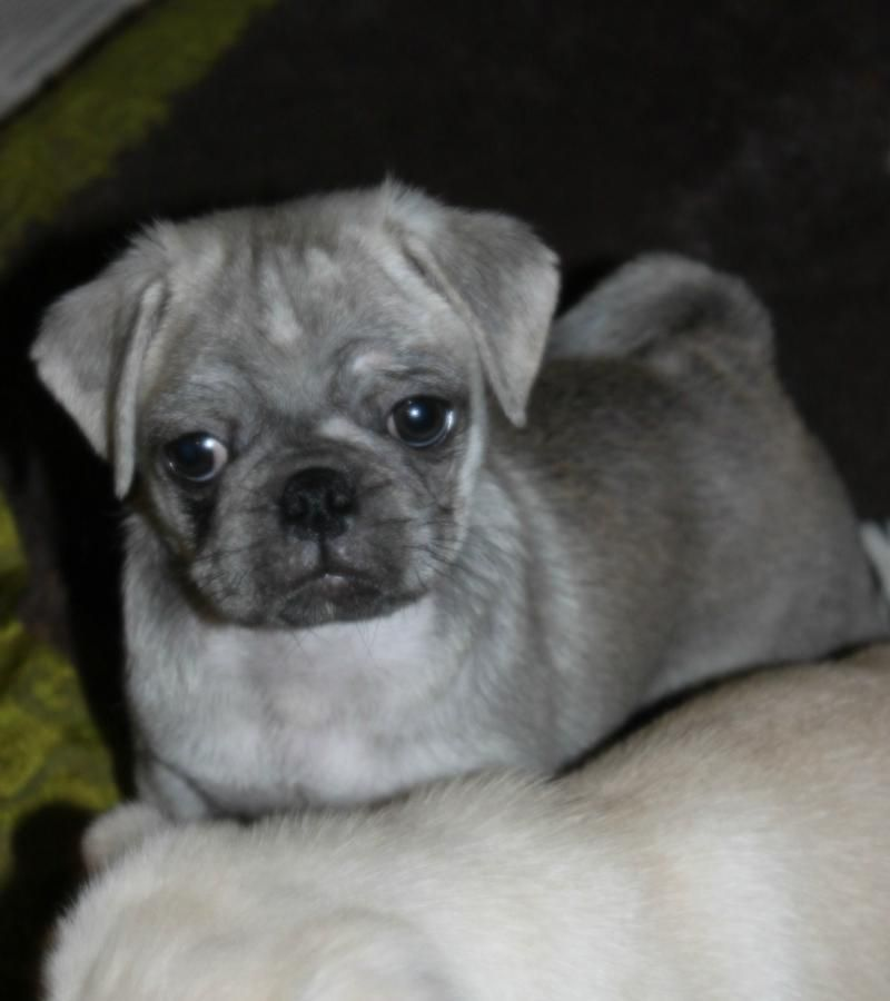 Frenchie Pug Puppy For Sale In Taylor Mi Adn 54456 On