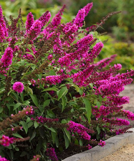 Cottage Farms Direct Hot Raspberry Buzz Butterfly Bush