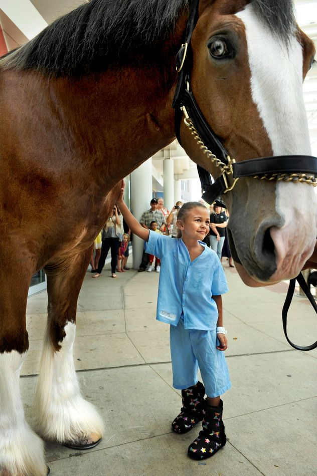 The world-famous Budweiser Clydesdales are in town this week for an appearance Friday night at the Peoria Chiefs baseball game. But on Wednesday, one of the giant horses named Levi brightened up the day for the young patients of the Children's Hospital of Illinois in Peoria. Their families, doctors, nurses and other employees got a kick out of it too.