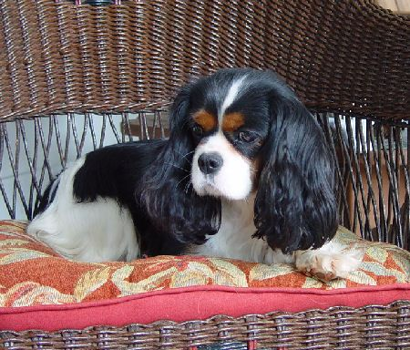Champions Pets Dogs Breeds Cavalier King Charles Dog Breeds