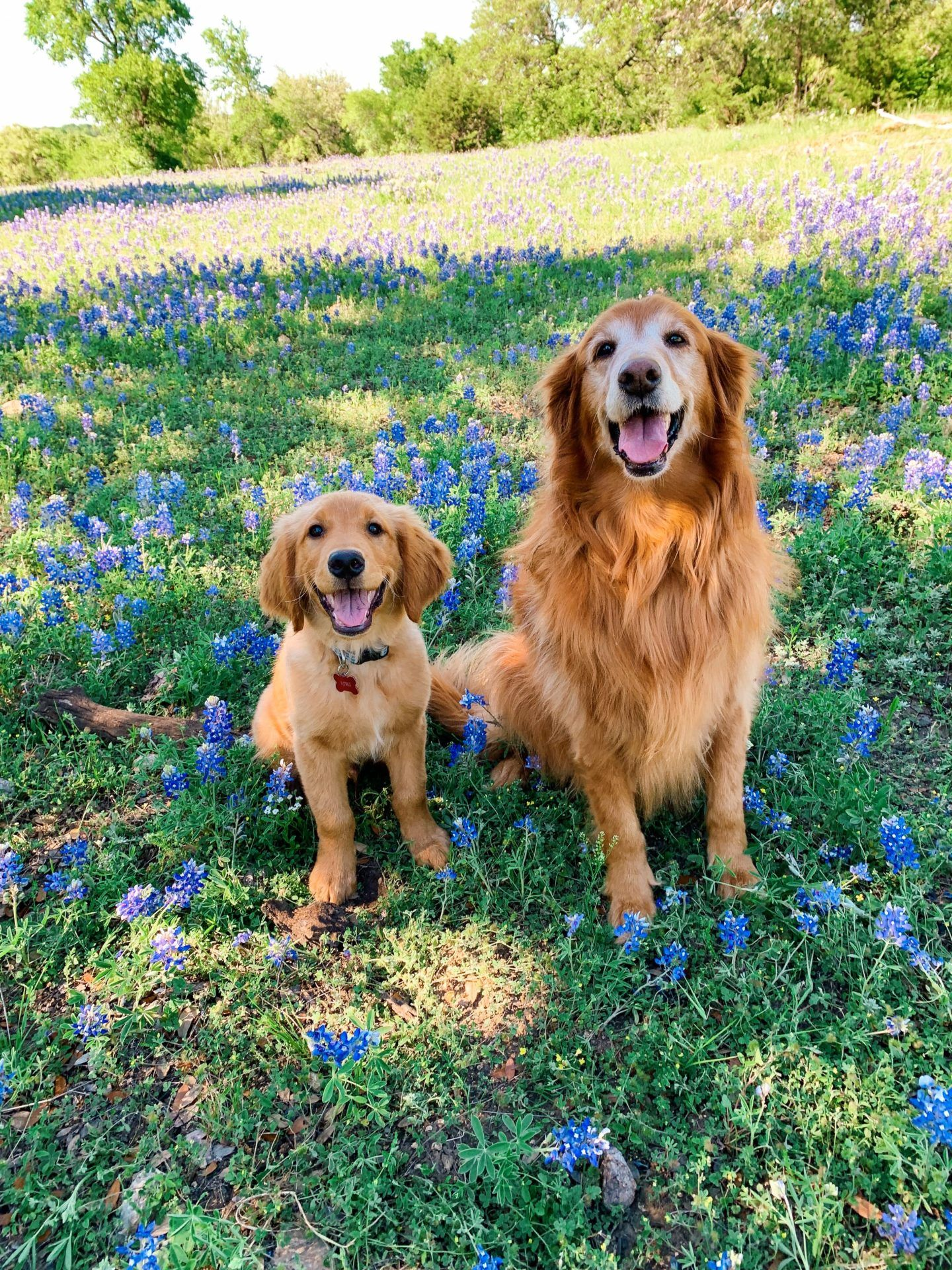 Golden Retriever Dog Mom Dogs Golden Retriever Dog Mom Outside