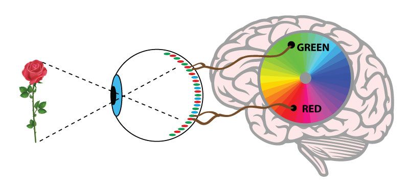 Diagram of eye with color blindness diy enthusiasts wiring diagrams diagram of eye with color blindness auto electrical wiring diagram u2022 rh wiringdiagramcenter today schematic eye blind spot color blind eye ccuart Images
