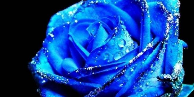 Cute Blue Rose Fresh Flower Hd Wallpaper Blue Rose Blue Roses