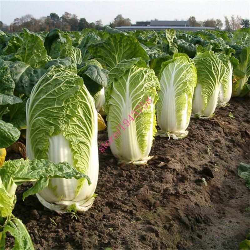 500 Chinese cabbage cabbage seeds,green vegetable seeds
