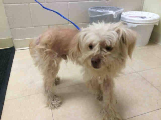 Animal ID A1643307 ‒ I am a Male, Tan Miniature Poodle