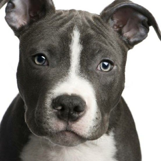 American Staffordshire Terrier Life Span 10 To 12 Years Colors